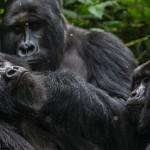 congo_gorillas