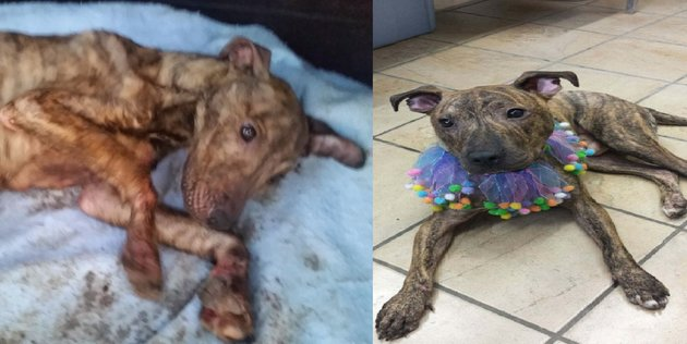 Pitbull named Rocky is rescued from her cruel owner